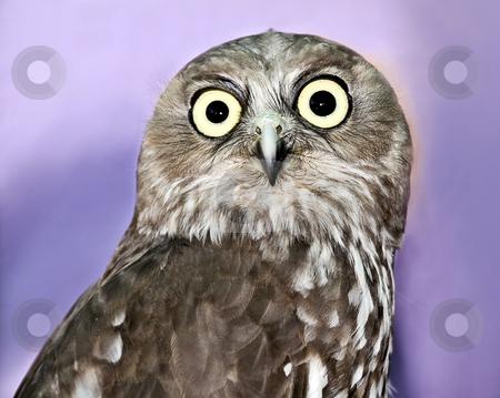 Portrait shot of a Barking owl  stock photo, Portrait shot of a Barking owl  by Laura Smith
