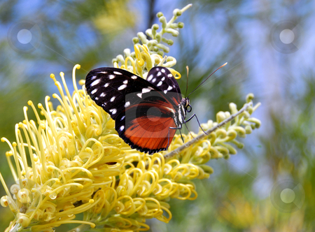 Butterfly stock photo, Butterfly on a yellow flower by Laura Smith