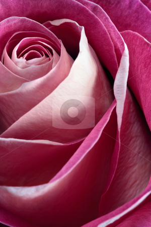 Single pink rose stock photo, Macro, shallow depth of field image of a single pink rose.  Focus near centre and edges of petals. by © Ron Sumners