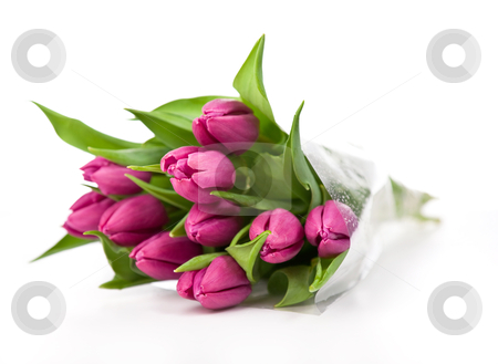 Purple tulips on a white background stock photo, purple tulips isolated on a white background.please have a look at my other images about this subject by twixx