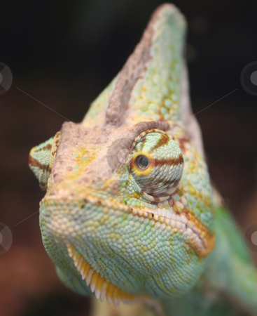 Chameleon stock photo, chameleon close up photo - vivid colored by Stelian Ion