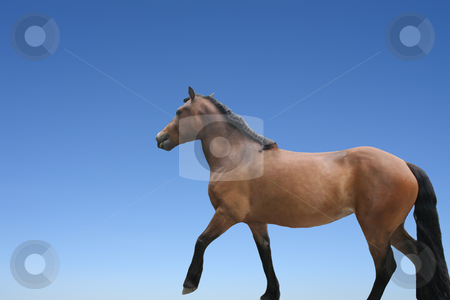 Horse isolated stock photo, horse isolated on blue background - domestic animals by Stelian Ion