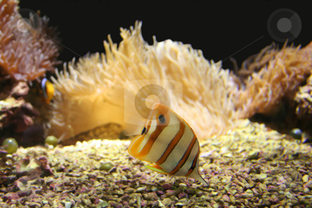 Tropical fish stock photo, Tropical fish - acquarium gold colorful by Stelian Ion