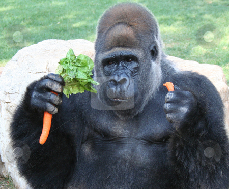 Gorilla stock photo, gorilla adorable africa animal eating carrots at the zoo by Stelian Ion