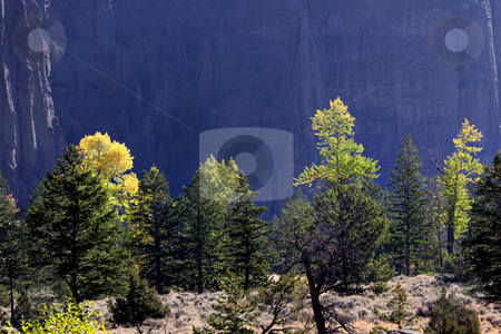 Cotton wood trees stock photo, Cotton wood trees and pine trees in Wyoming in autumn time by Sreedhar Yedlapati