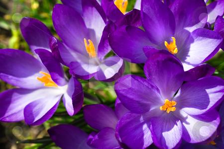 Spring sunshine on purple crocus stock photo, Blooming purple crocus in sunshine in spring by Colette Planken-Kooij