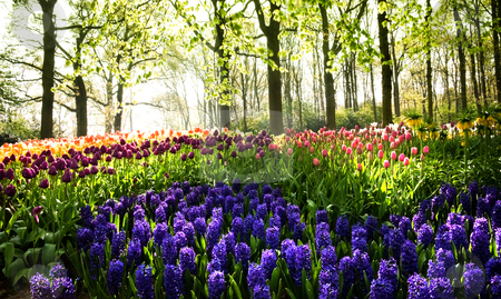 Tulips and hyacinths in spring stock photo, Tulips and hyacinths under the trees at sunrise in spring by Colette Planken-Kooij