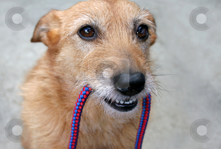 Dog holding a leash in her mouth stock photo, Cute scruffy terrier dog holding her leash in her mouth waiting by suemack