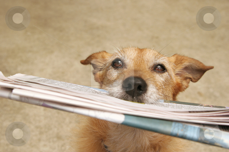 Dog with the daily news stock photo, Cute scruffy terrier dog holding the daily news in her mouth, dirty concrete background by suemack