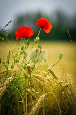 The Poppy is an angiosperm or flowering plant of the family Papaveraceae. stock photo, red poppy in a barley field by Christophe Rolland