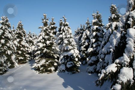 Snowy Evergreens stock photo, A bunch of snowy evergreens.  by Chris Hill