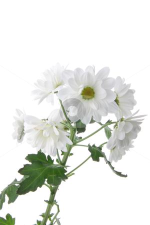 Chrysanthemum stock photo, White chrysanthemum isolated on white background by Piotr_Marcinski
