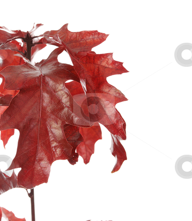 Autumn stock photo, Autumn - red oak branch isolated on white background  by Piotr_Marcinski