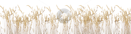 Late summer grass stock photo, Late summer grass isolated onr white background by Piotr_Marcinski