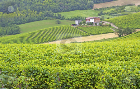 Vineyard stock photo, Green and gorgeous vineyard with field on the back by Fabio Alcini