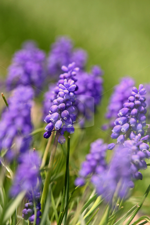 Purple flowers stock photo, Close up shot of freshly grown purple flowers by Sreedhar Yedlapati