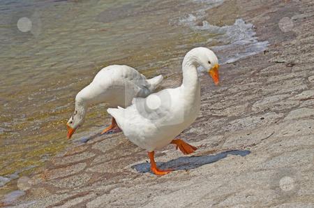 Ducks stock photo, Two ducks walking cautiously near the water by Fabio Alcini