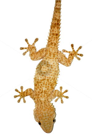 Gecko lizard stock photo, Small gecko reptile lizard against a white background. by sirylok