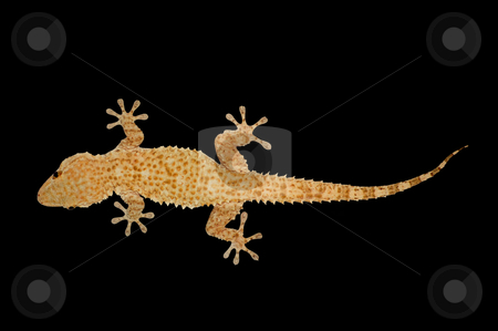 House gecko lizard stock photo, Nocturnal house gecko reptile lizard against a black background. by sirylok