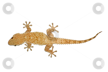Small lizard stock photo, Small gecko reptile lizard against a white background. by sirylok