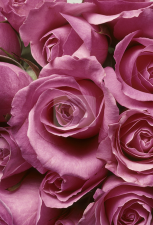 Closeup of pink roses stock photo, Closeup of pink roses in a tight arrangment BFS20929214 by J.R. Bale