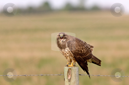 Redtailed Hawk on Post stock photo, Redtailed Hawk on Post Canada by Mark Duffy