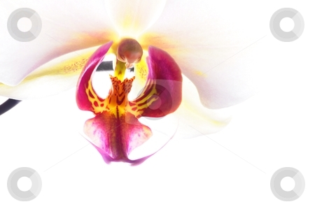 Orchid stock photo, orchid flower macro isolated on white background with copyspace by Gunnar Pippel