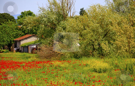Farmhouse Red Poppies Tuscany Italy stock photo, Farmhouse, Red Poppies, Green Grass Trees, Tuscany, Italy by William Perry