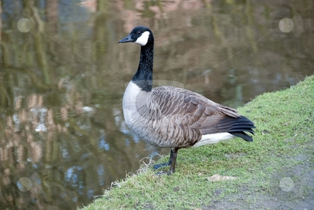 Canada Goose stock photo, Canada Goose by Canal by d40xboy