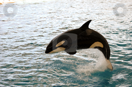 Killer whale jumping stock photo, Killer whale is jumping in the water by Lars Christensen