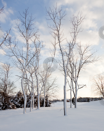 Snow sticking to sides of tree trunks after storm stock photo, Heavy snowfall leaves bare trees covered in snow by Steven Heap