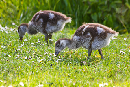 Egyptian goose goslings in spring stock photo, Egyptian goose goslings grazing in evening sunshine in spring by Colette Planken-Kooij