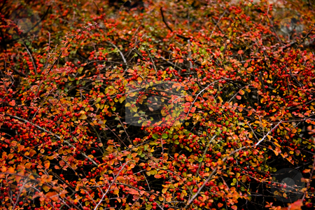 Background red berries in autumn  stock photo, Background red berries in autumn - horizontal  by Colette Planken-Kooij