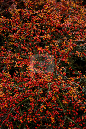 Background red berries in autumn  stock photo, Background red berries in autumn - vertical by Colette Planken-Kooij