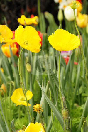 Yellow poppies stock photo, Photo of bright yellow poppies in the garden by Olena Pupirina