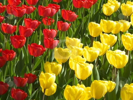 Tulips stock photo, flower bed with many tulips in spring by Juliane Jacobs