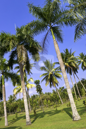 Palm tree garden stock photo, Palm tree in a public indonesian garden  by Alberto Rigamonti