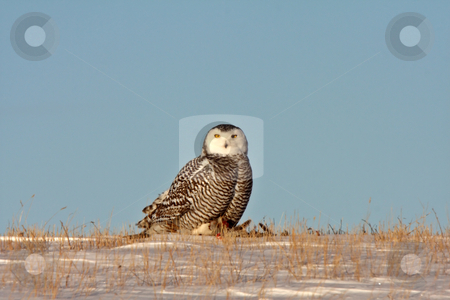 Snowy Owl Canada stock photo, Snowy Owl in Winter Saskatchewan by Mark Duffy