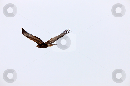 Golden Eagle in Flight Canada stock photo, Golden Eagle in Flight Canada by Mark Duffy