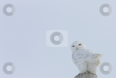 Snowy Owl Canada stock photo, Snowy Owl Canada by Mark Duffy