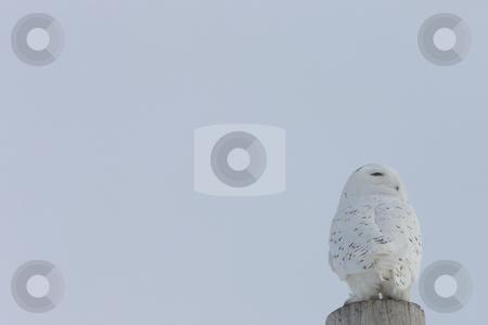 Snowy Owl Canada stock photo, Snowy Owl Canada by Mark Duffy