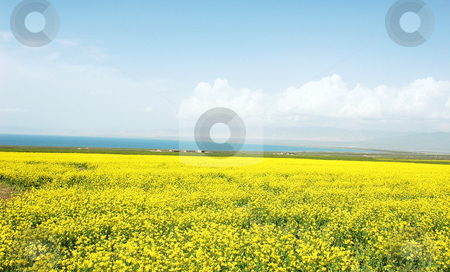 Rapeseed fields stock photo, Landscape of vast rapeseed fields in spring by John Young