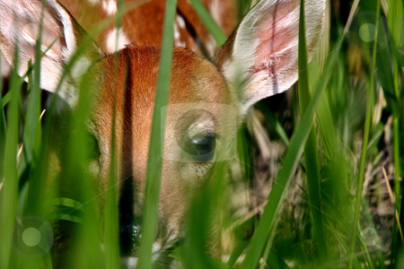 White tailed Deer fawn hiding in grass stock photo, White tailed Deer fawn hiding in grass by Mark Duffy