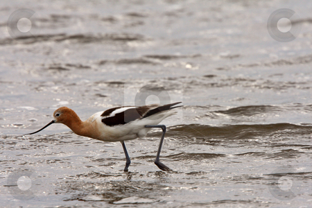 American Avocet wading in shallow water stock photo, American Avocet wading in shallow water by Mark Duffy