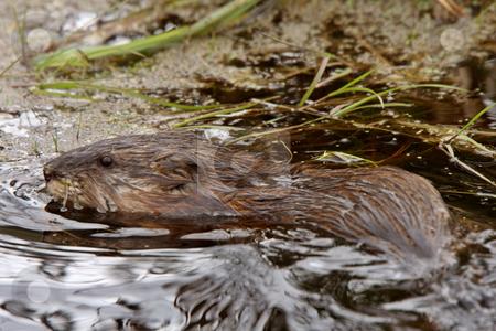 Beaver in roadside pond stock photo, Beaver in roadside pond by Mark Duffy