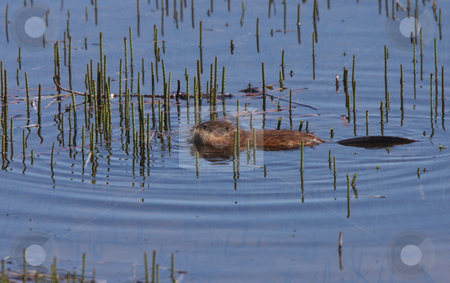 Beaver swimming in roadside pond stock photo, Beaver swimming in roadside pond by Mark Duffy