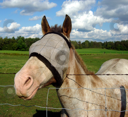 Blinded Horse stock photo, A horse with a burlap sack covering it's eyes. by Chris Hill
