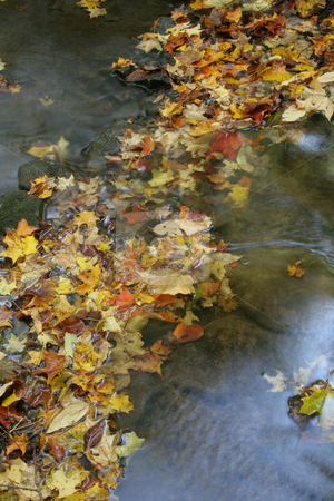 Leaves in a Stream stock photo, A bunch of maple leaves in a stream in autumn.  The shot was taken with a slow shutterspeed to  give the water it's milky look.  by Chris Hill