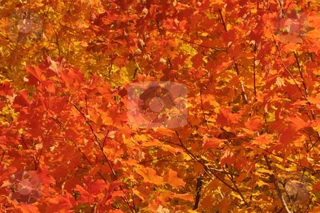 Orange Maple Tree Background stock photo, A closeup of a bright orange maple tree. by Chris Hill