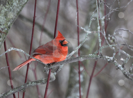 Cardinal in a Tree stock photo, A beautiful red cardinal perched in a tree.  by Chris Hill